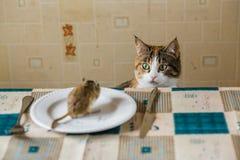 Кот вытаращится на маленькой мыши песчанки на таблице Концепция добычи, еды, бича Стоковая Фотография
