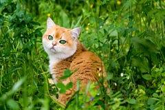 Кот в зеленой траве и цветках, красивом красном великобританском коте с зелеными глазами сидя в толстой траве стоковые изображения rf