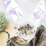 Кот в костюме кролика Пасха Стоковая Фотография