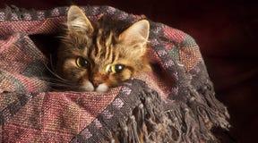 Кот в одеяле Стоковая Фотография