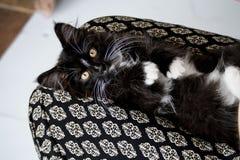 Кот в подоле Стоковое Фото