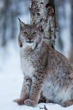 Кот в снежной сцене зимы, Норвегия рыся Стоковое Изображение RF