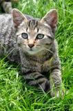 Кот в траве Стоковые Изображения RF