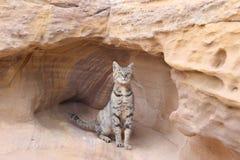 Кот в Petra Джордане горной породы Стоковая Фотография RF