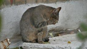 Кот двора одичалый бездомный сидя на улице лижет лапку сток-видео