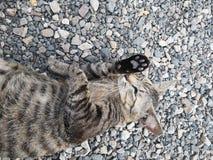 Кот дома Бенгалии ‹Lovely†животный стоковое изображение rf