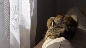 Кот европейской породы спит удобно на софе в солнце акции видеоматериалы