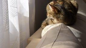 Кот европейской породы спит удобно на софе в солнце сток-видео