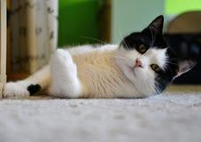 Кот лежа на ковре стоковое фото rf