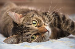 Кот лежит на одной стороне и смотрит вас Стоковое фото RF