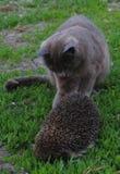 Кот, еж стоковая фотография rf