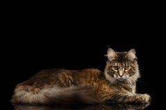 Кот енота лежа, пристальный взгляд Мейна взглядов изолированный на черной предпосылке Стоковое фото RF