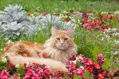 Кот енота Мейна лежа на flowerbed Стоковое Изображение