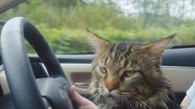 Кот енота Мейна путешествуя с хозяином в автомобиле Стоковая Фотография RF