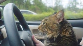 Кот енота Мейна путешествуя с хозяином в автомобиле Стоковая Фотография