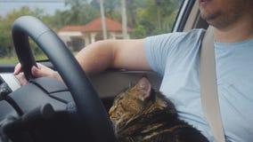Кот енота Мейна путешествуя с хозяином в автомобиле Стоковое фото RF