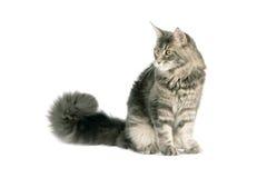 Кот енота Мейна Стоковое Изображение