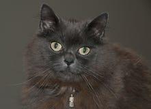Кот енота Мейна Стоковое фото RF