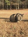 Кот енота Мейна outdoors field одичалое отечественное Стоковое Изображение RF