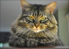 Кот енота Мэн Стоковая Фотография RF