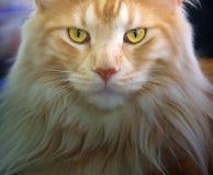 Кот енота Мэн Стоковые Фотографии RF