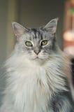 Кот енота Мэн Стоковое Изображение RF