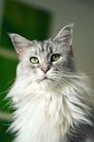 Кот енота Мэн Стоковая Фотография