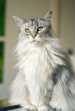 Кот енота Мэн Стоковое Фото