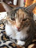 Кот леопарда на одеяле леопарда Стоковая Фотография RF