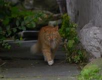 Кот леса имбиря норвежский Стоковые Изображения