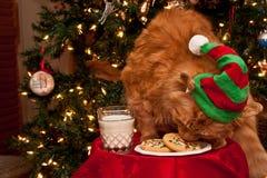 Кот есть печенья Santas Стоковые Фото