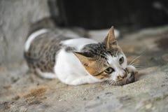 Кот ест крысу стоковые фотографии rf