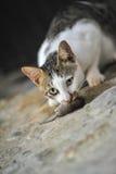 Кот ест крысу стоковое изображение
