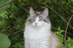 Кот женщины Snowshoe Стоковые Изображения
