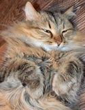 Кот, животное, котенок, любимчик, кошачий, милый, отечественный, мех, киска, млекопитающее, tabby, глаза, любимчики, белизна, дет Стоковая Фотография RF