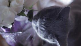Кот жует цветки на таблице свадьбы сток-видео