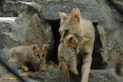 Кот джунглей Стоковое Изображение RF