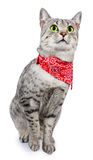 Кот запятнанный серебром с Bandana Стоковая Фотография RF