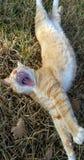 кот зевая Стоковые Фотографии RF