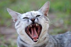 кот зевая стоковое изображение