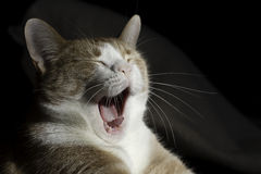 кот зевая Стоковая Фотография