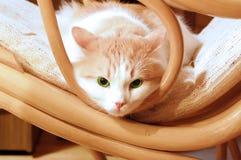 Кот зеленого глаза Стоковые Изображения RF