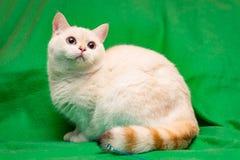 Кот золотого пункта цвета великобританский с голубыми глазами и striped пушистым кабелем сидит на зеленой предпосылке стоковые фотографии rf