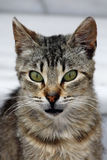 кот злющий Стоковое Фото
