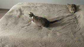 Кот играя с указателем лазера на кровати видеоматериал