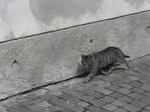 Кот идя вдоль стены Стоковые Изображения