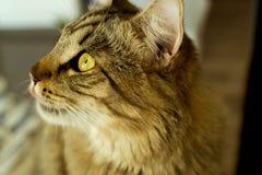 Кот лижа губы смотря вверх Стоковое фото RF