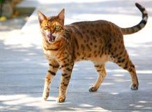 Кот лижа губы стоковая фотография