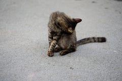 Кот лижет Стоковые Фотографии RF