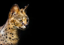Кот дикого животного оцелота захватнический Стоковые Фотографии RF